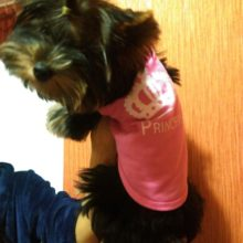 Fashionable, colourful cotton yorkie clothing
