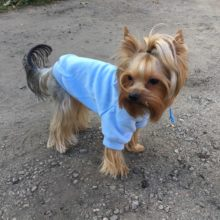 Warm coat Hooded Yorkie Sweatshirt / 6 Colors