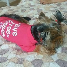 "Outerwear ""I Give Free Kisses"" yorkie shirt / clothing"