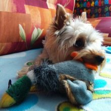 Stuffed squeaking duck-shaped dog toy