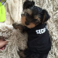 "Pretty ""SECURITY"" yorkie vest"