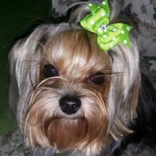 10 Pcs of Cute Handmade Dog Bows – different designs