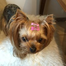 10pcs lot of Bone Design Yorkie Hair Clips