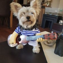 Funny yet cool guitar player yorkie costume