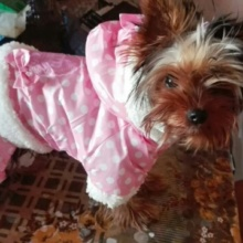 Soft cotton winter polka dots yorkie Jacket / coat / hoodie